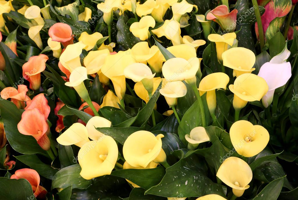 colored blossomed in spring calla flowers