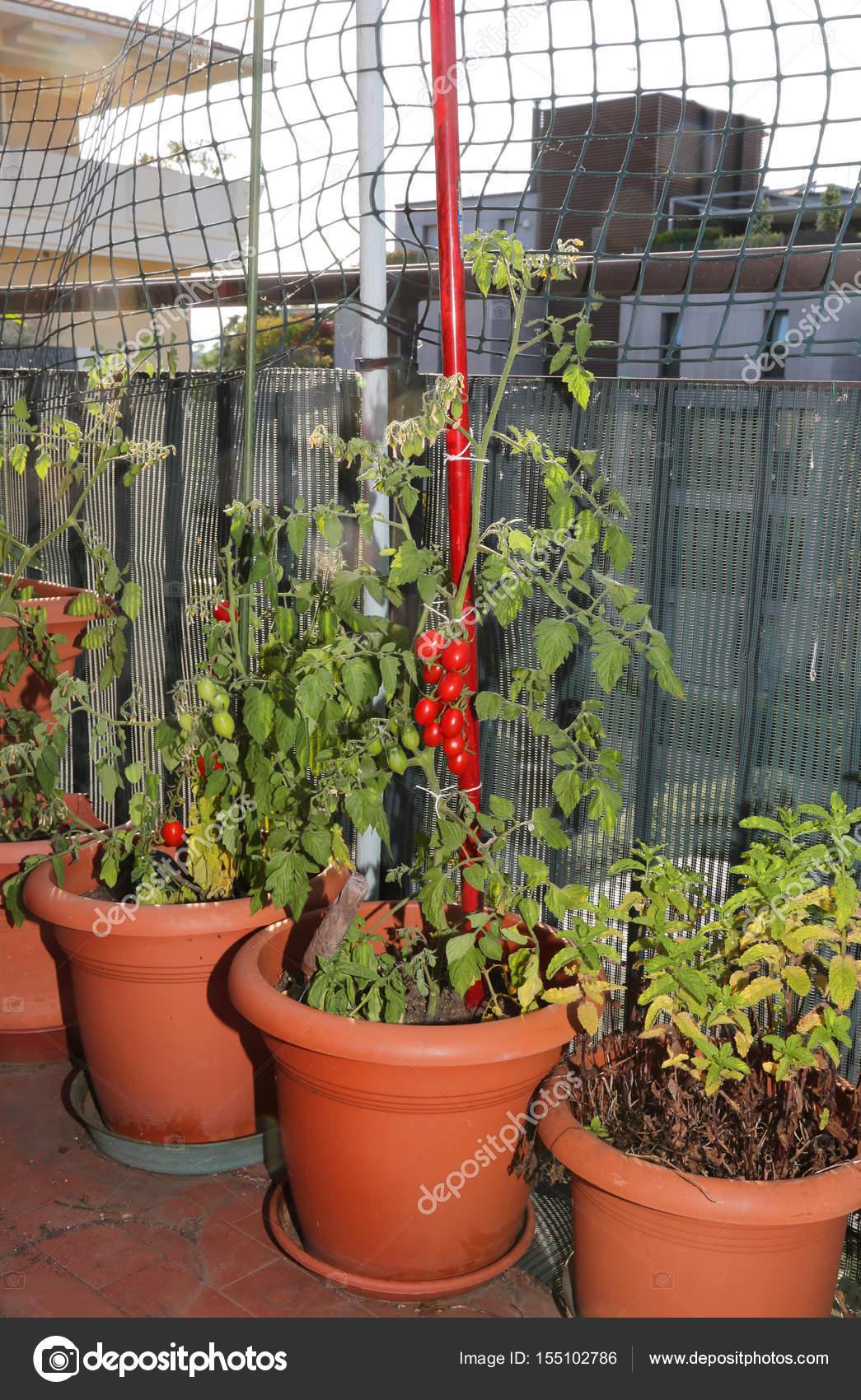 Cultivo De Tomate En Los Jarrones De Un Huerto Urbano