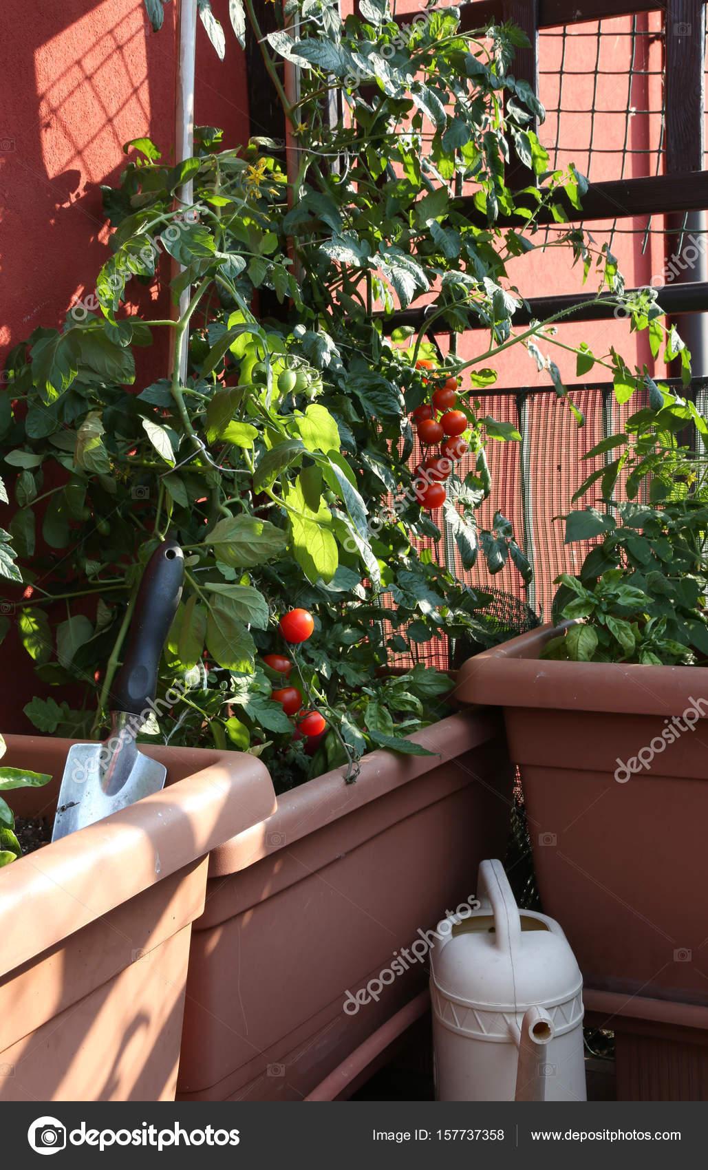 Cultivo De Tomates En Los Jarrones De Un Huerto Urbano