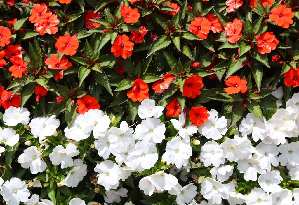 floral background of little white and red flowers