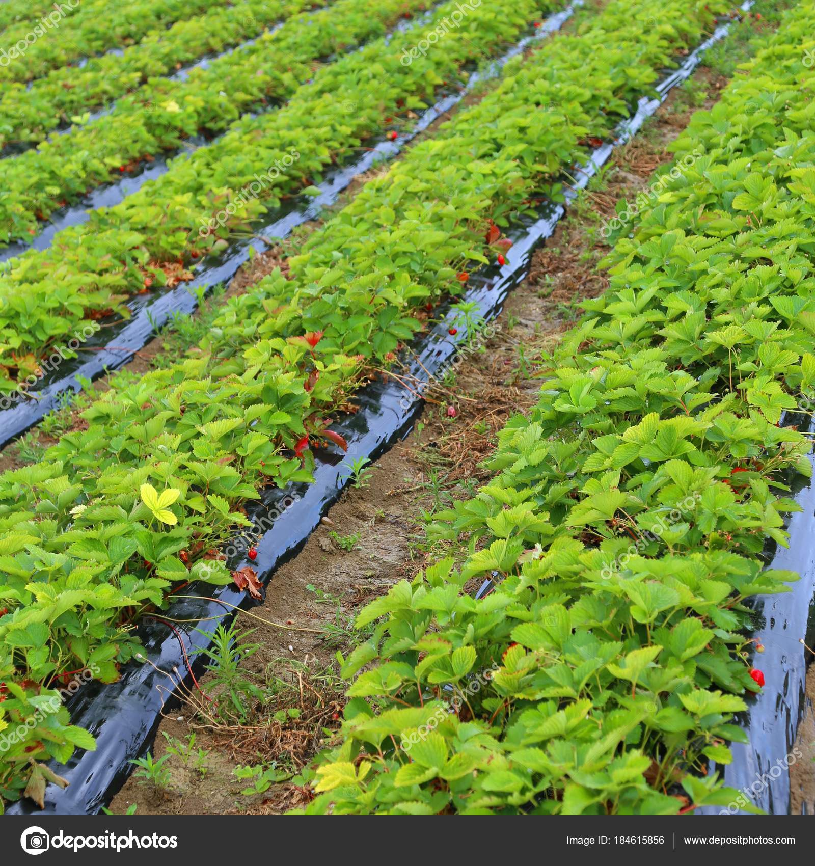 Intensive cultivation in a field of strawberries — Stock