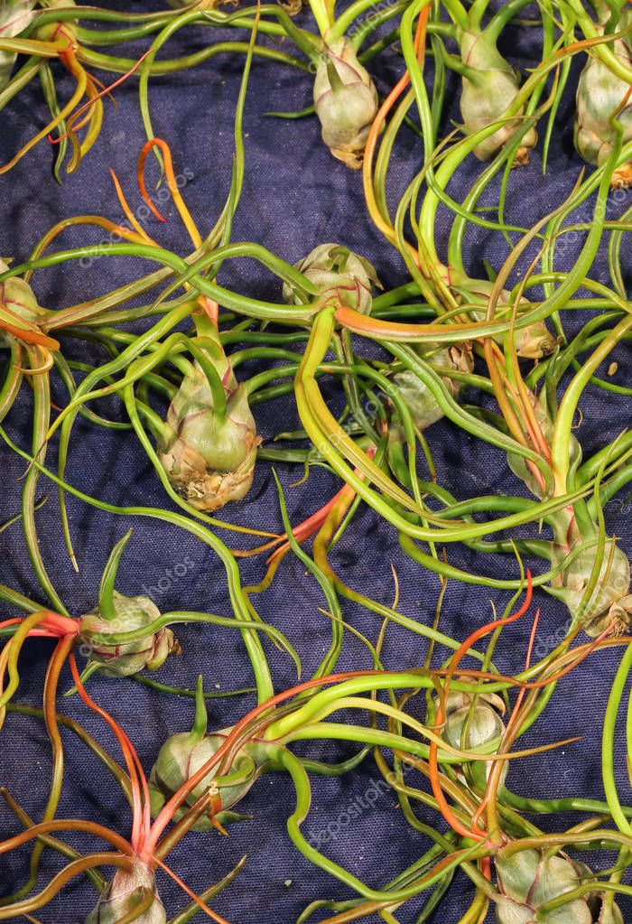 plant called Tillandsia Bulbosa for sale This plant remove the p