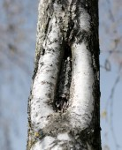 Fotografia bark of the birch tree with the shape like a vagina