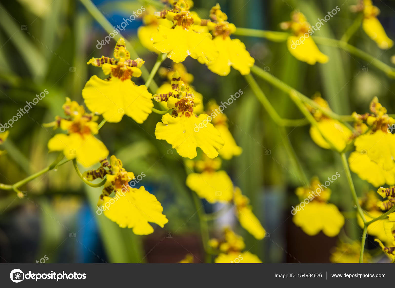 Bright Yellow Flowers Succulent Shrub With Yellow Flowers Stock