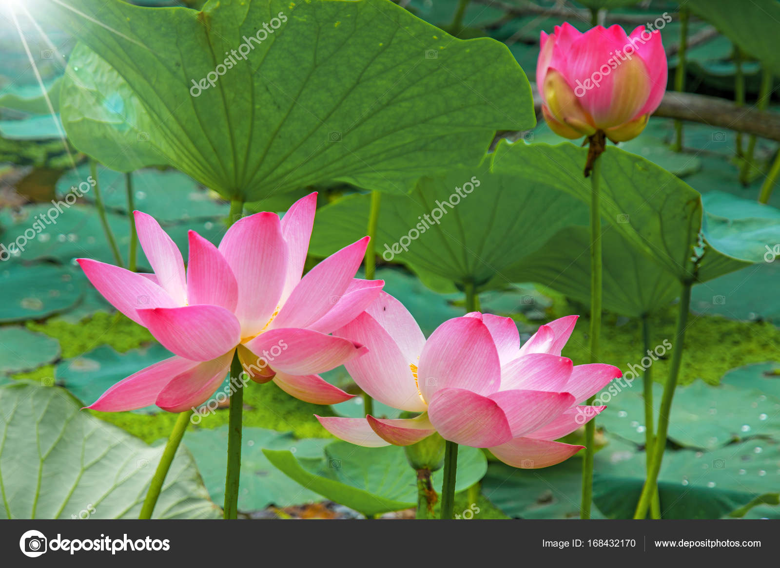 Large lotus flowers bright pink buds of lotus flower floating in large lotus flowers bright pink buds of lotus flower floating in the lake mightylinksfo Image collections