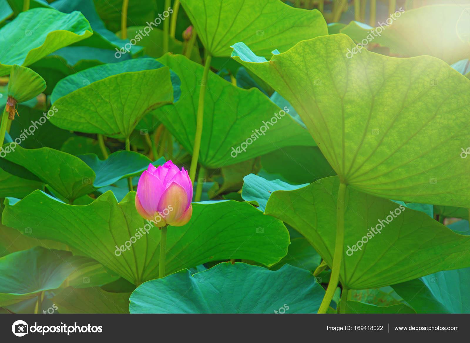 Large Lotus Flowers Bright Pink Buds Of Lotus Flower Floating In