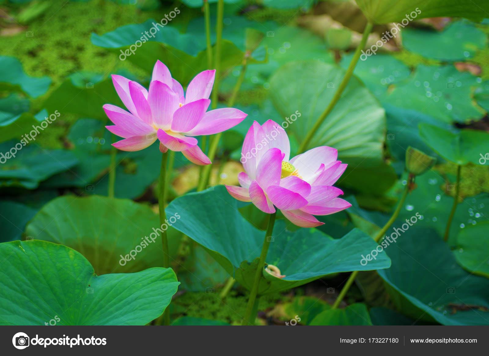 Large lotus flowers bright pink buds of lotus flower floating in large lotus flowers bright pink buds of lotus flower floating in the lake izmirmasajfo