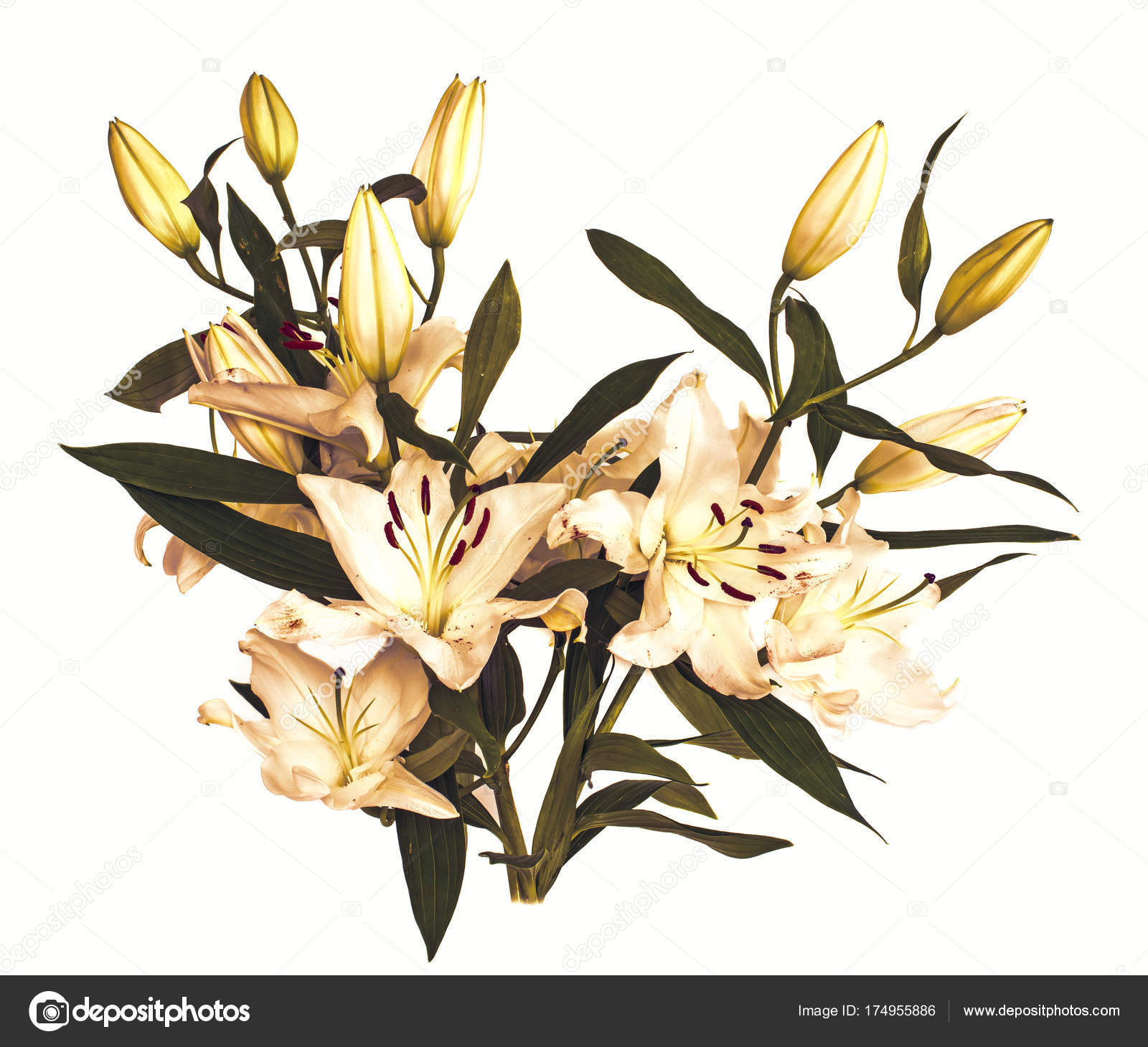 large flowers of a lily, close-up, white background. isolate ...