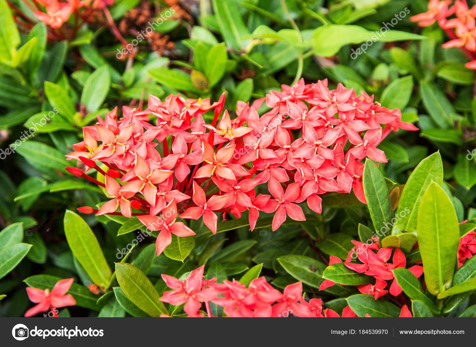 beautiful tropical flowers, the Bush strizhennom ratut. many bright ...