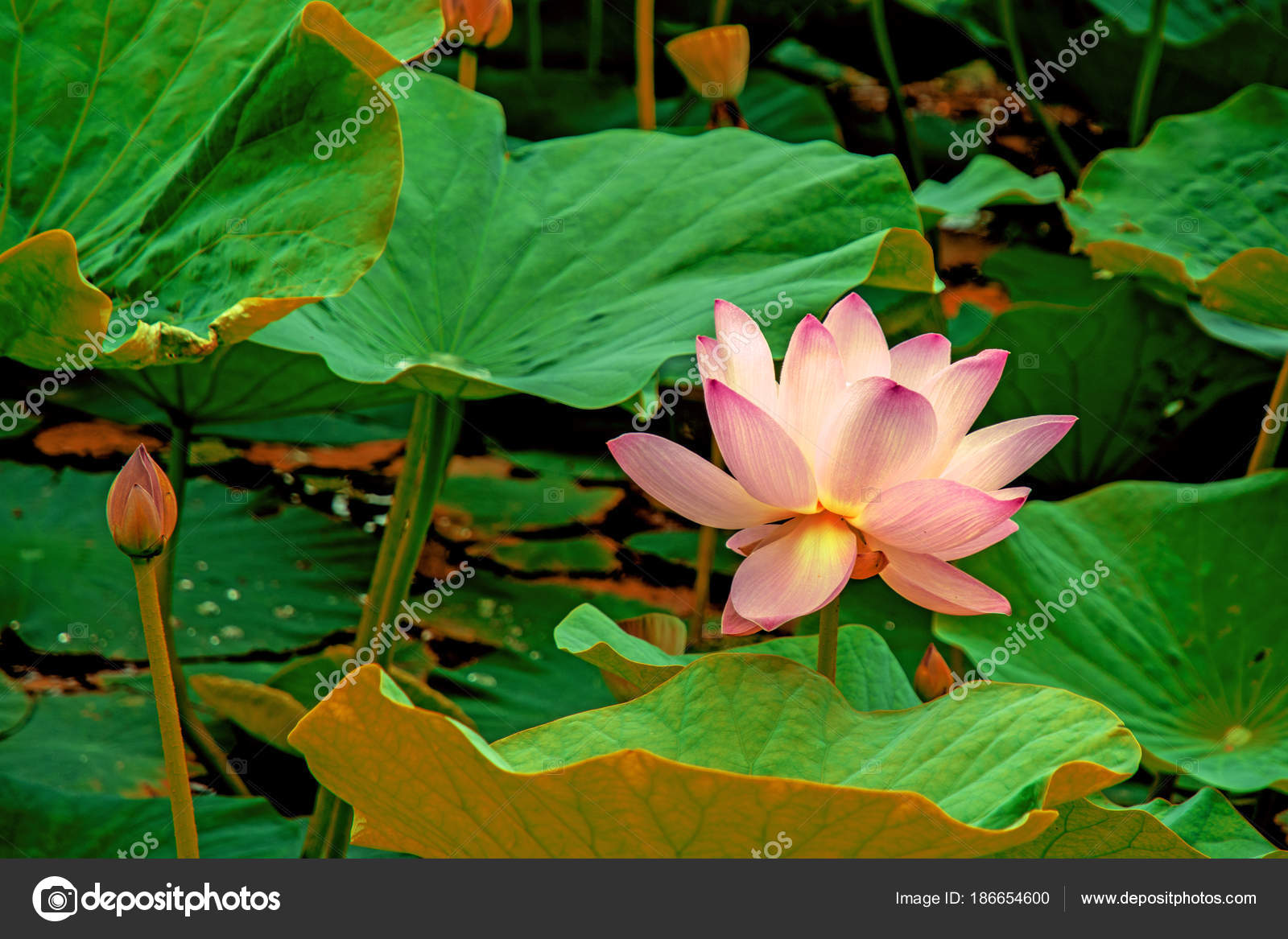 Large lotus flowers bright pink buds of lotus flower floating in large lotus flowers bright pink buds of lotus flower floating in the lake izmirmasajfo