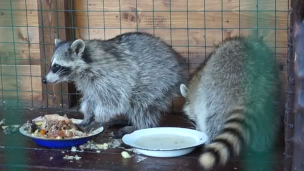 Raccoons in the zoo cage. Take food and drink. Wet feet in the water. Adult individual. Wild forest animals. dirty room. Animal feed. Striped thick coat.