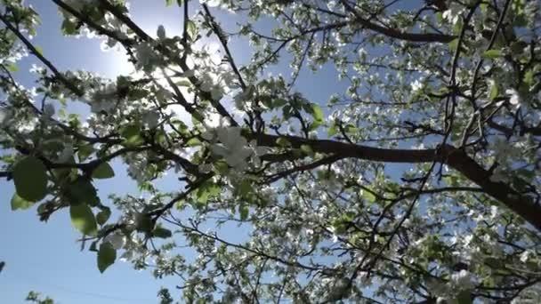 Virágzó Alma fa. Fehér kis virágok. Zöld levelek a fán. Kék ég. Sun ray. A szél rázza az ágakat. Falusi kertben. Jövőbeli gyümölcsök. 4k videóinak.