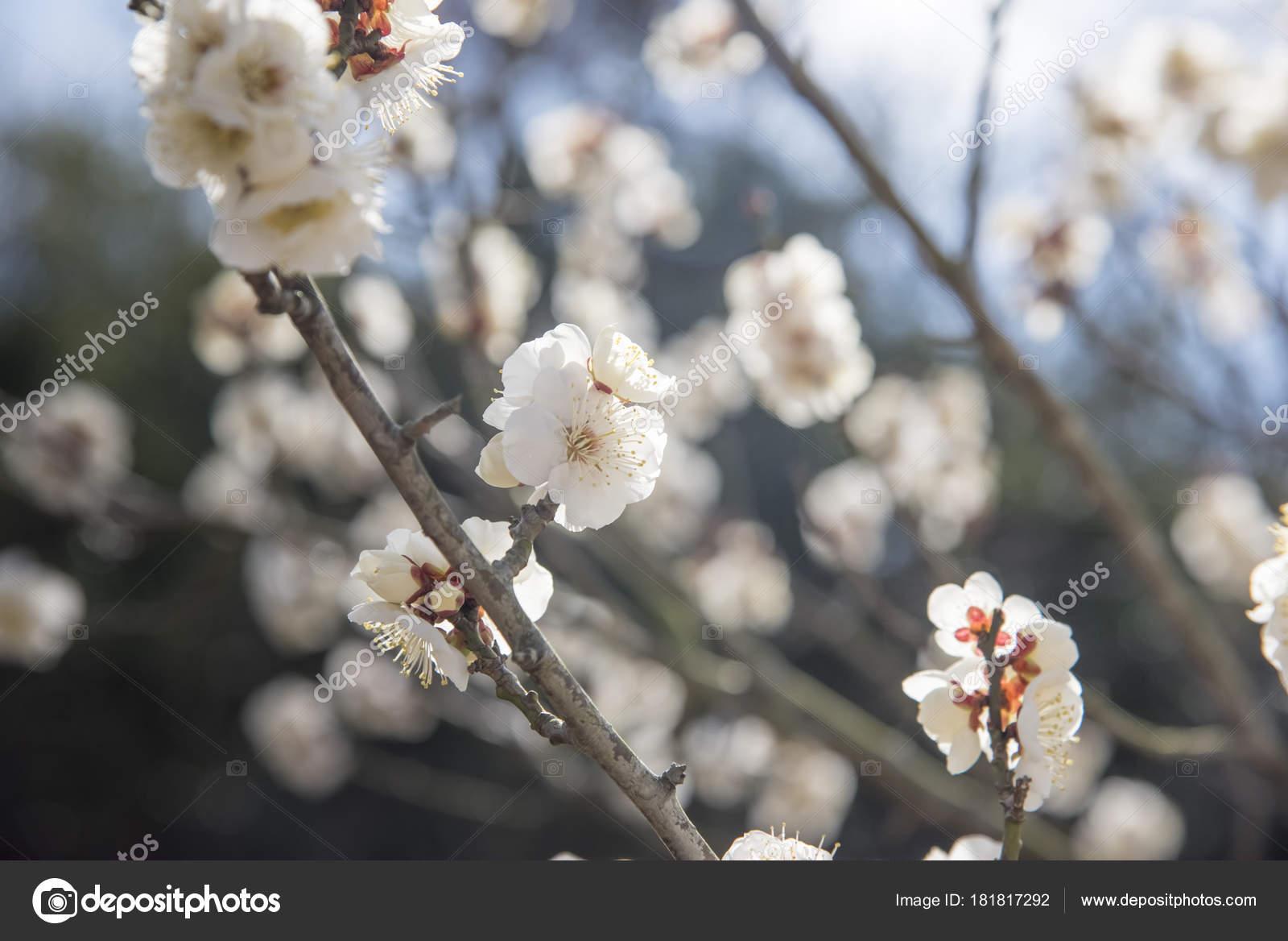 White Flowers Of Cherry Plum Tree Selective Focus Japan Flower