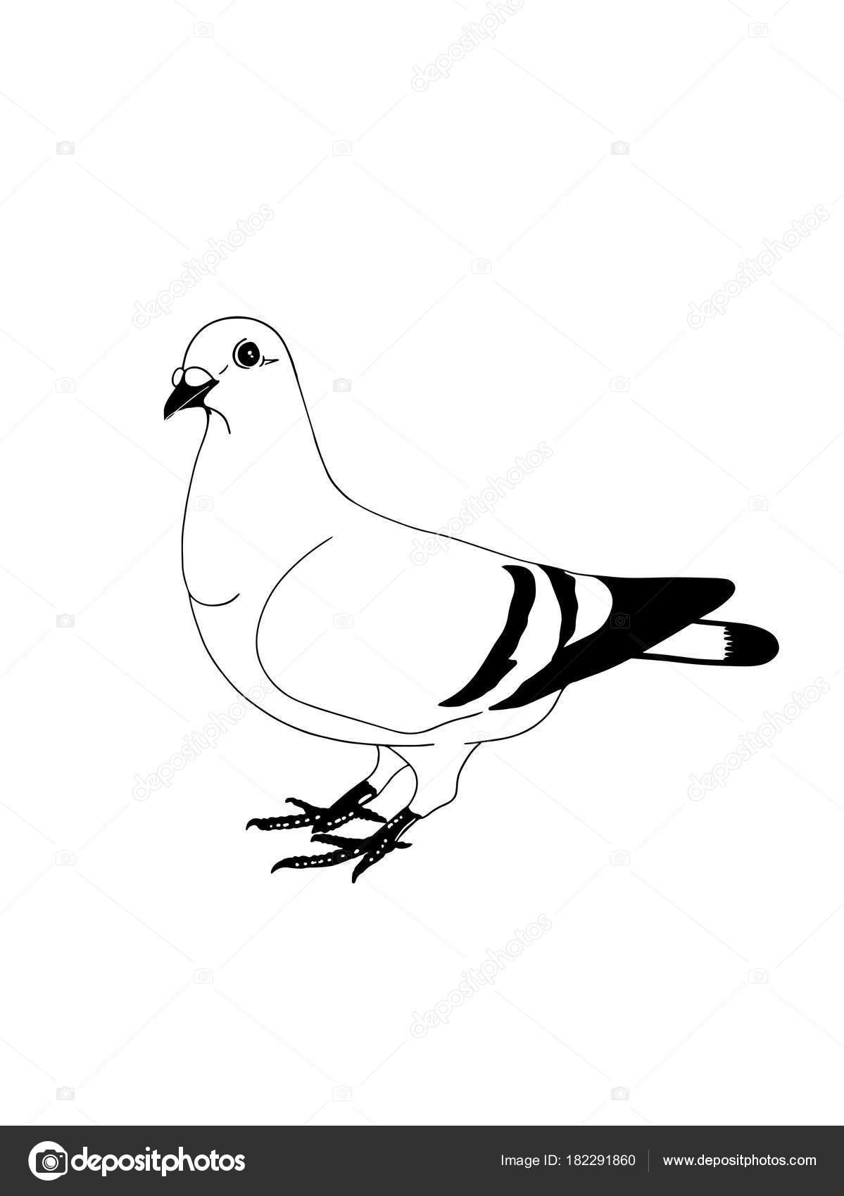 Pigeon Illustration Dessin Fond Blanc Photographie Designartks