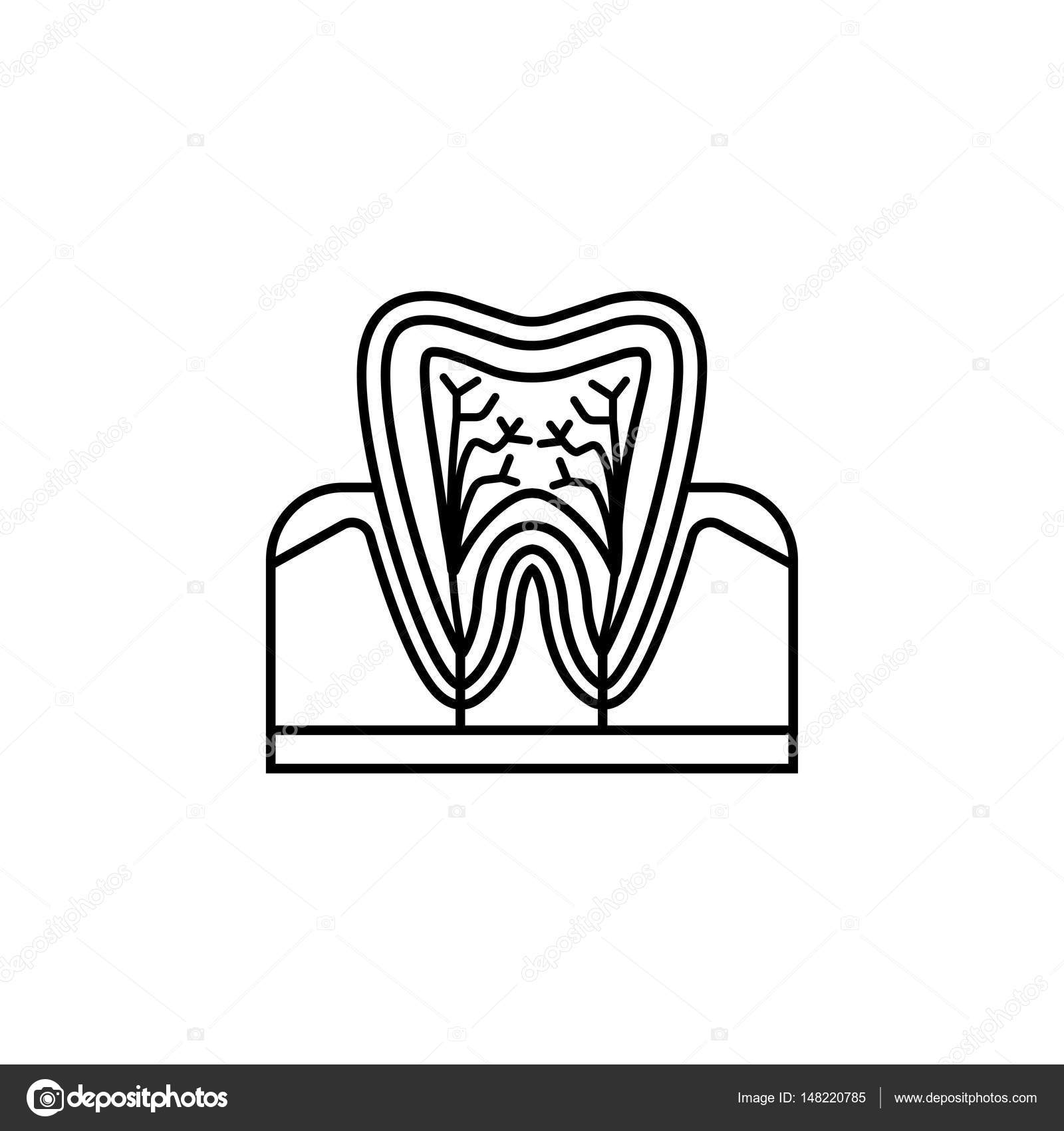 Icono de línea de anatomía dental — Vector de stock © amin268 #148220785