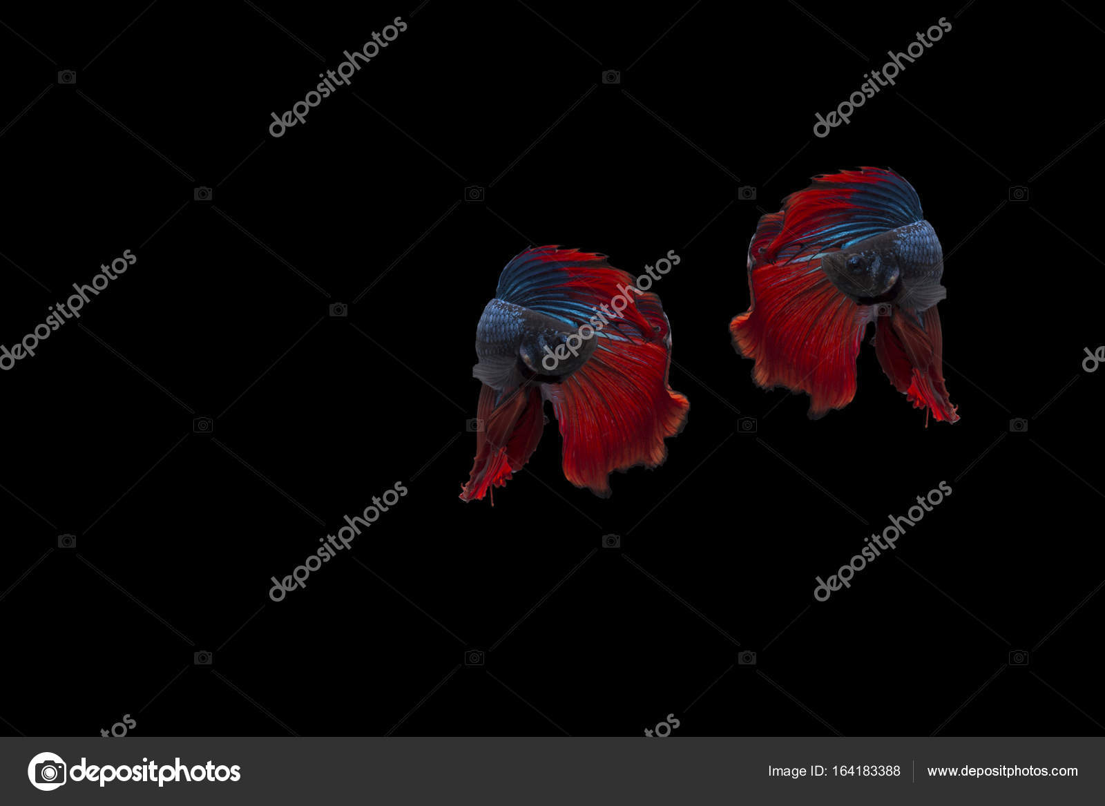 Double colorful Betta fish, Siamese fighting fish isolated on black ...