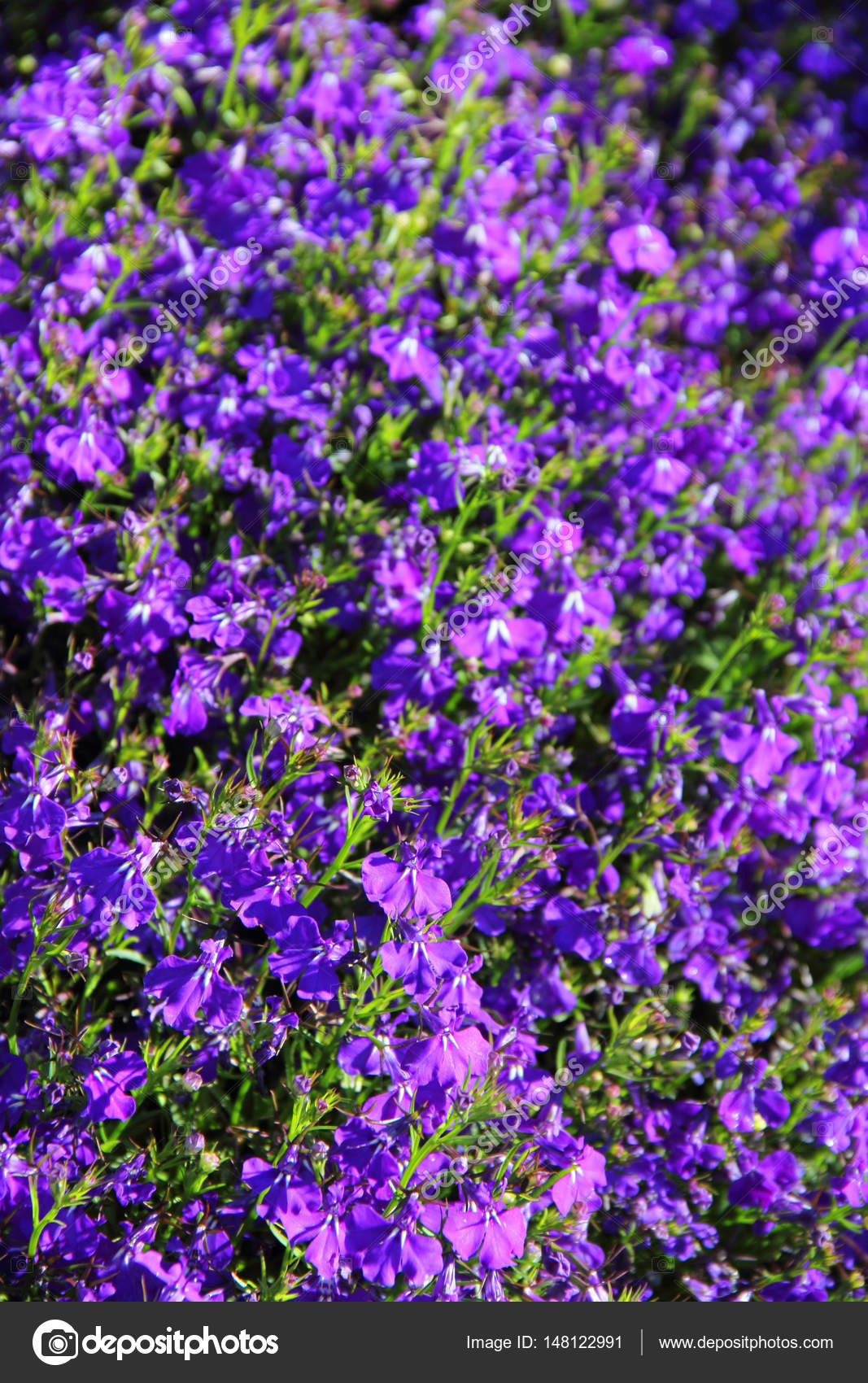 Sfondo Fiori Viola Foto Stock Destillat 148122991