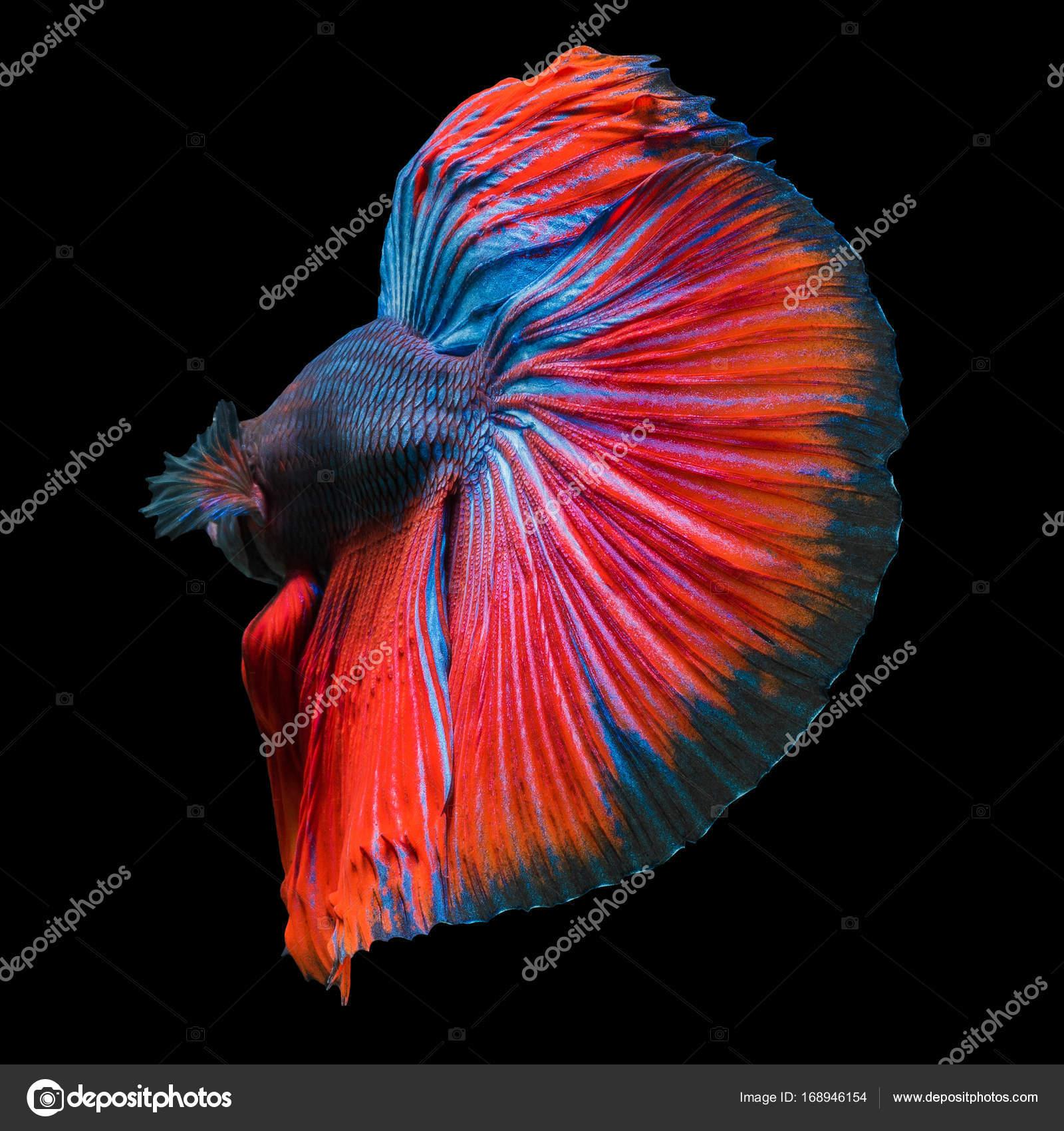 fighting fish,betta fish isolated on black background. — Stock Photo ...