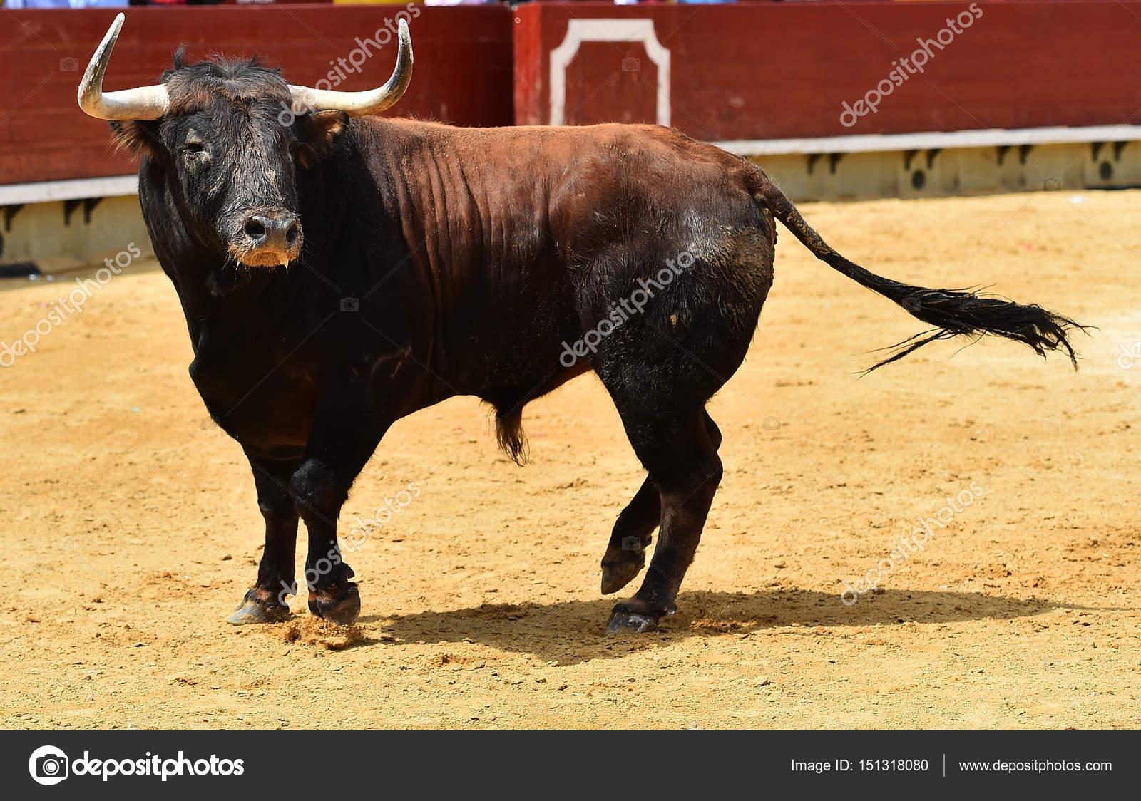 stier in Spanje met grote hoorns — Stockfoto ...