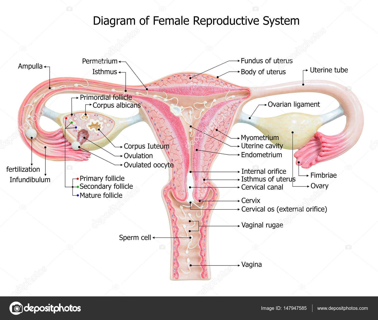 Female Reproductive System Image Diagram Stock Photo Kinwun