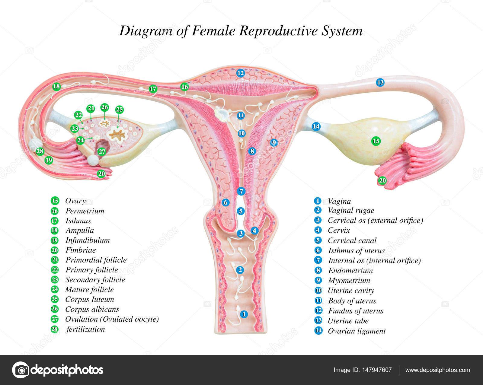Sistema reproductor femenino, diagrama de la imagen — Foto de stock ...