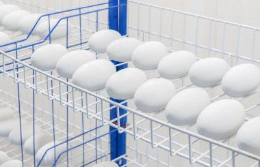 Crocodile eggs in Incubator
