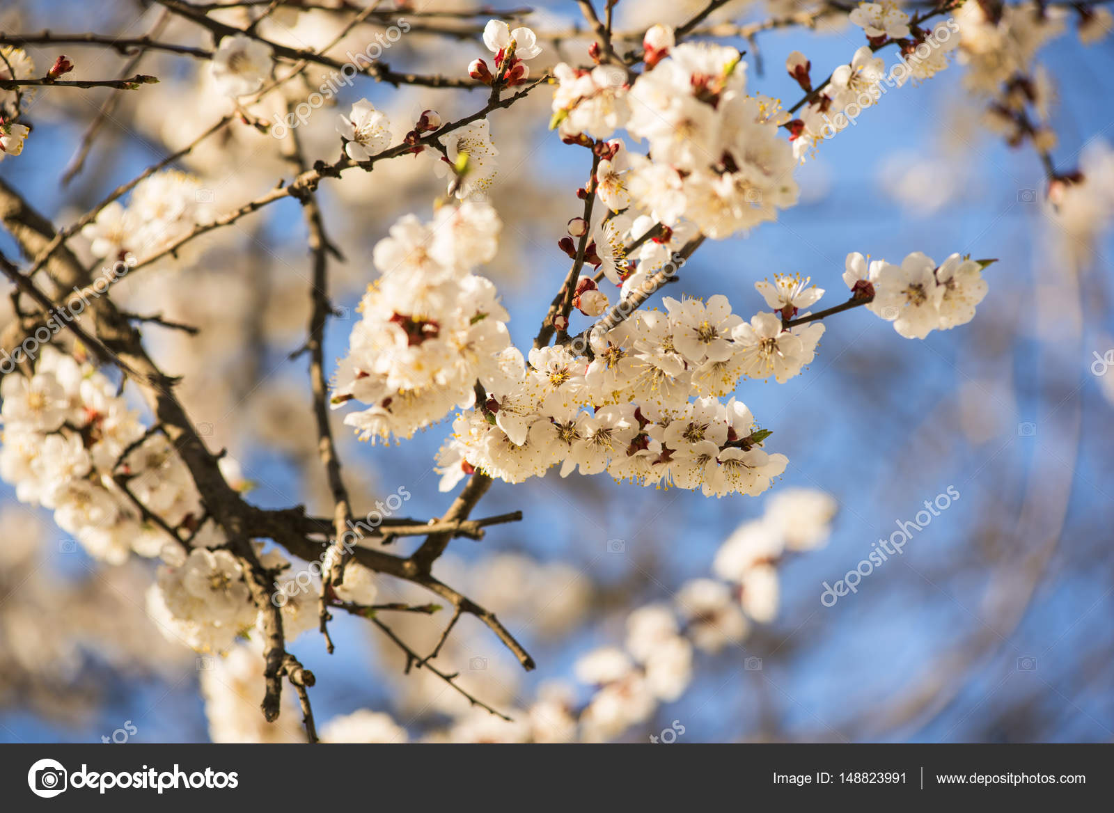 Apricot Or Cherry Blossom Flower Full Bloom In Blue Sky Spring
