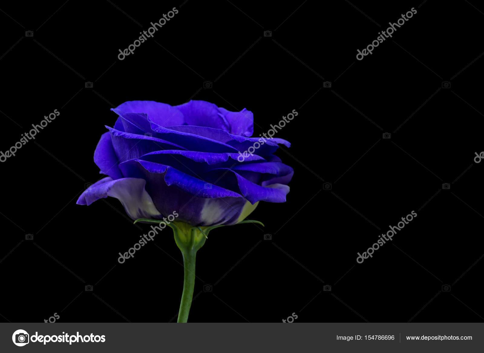 Belle Image Rose Bleu belle rose bleu sur fond noir — photographie artavet © #154786696