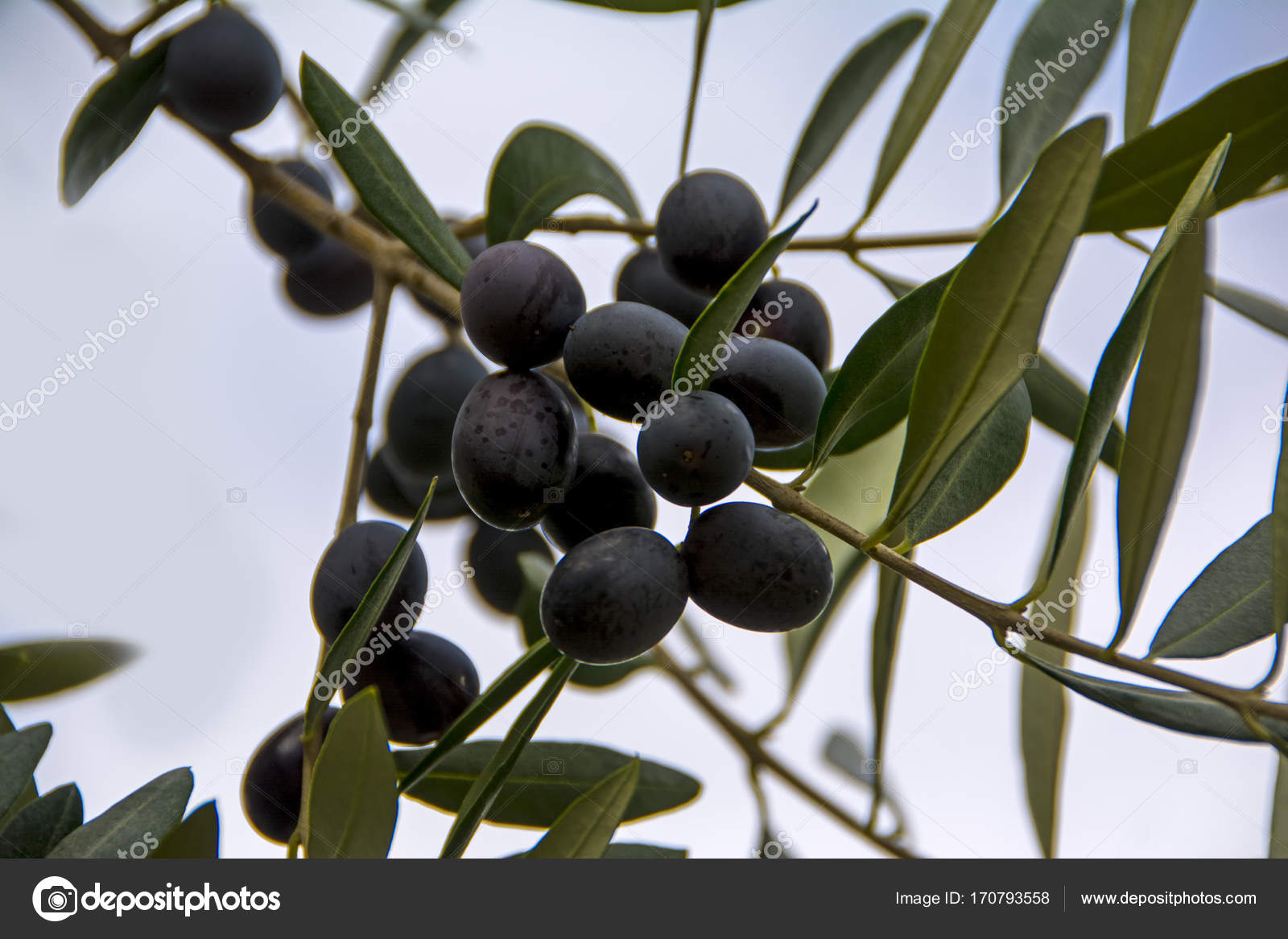 An olive branch with ripe olives symbol of health and peace rome an olive branch with ripe olives symbol of health and peace rome italy photo by artavet buycottarizona Choice Image