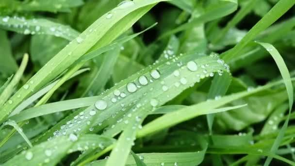 jasně zelená tráva s kapkami rosy v jasném slunečním světle se houpe ve větru
