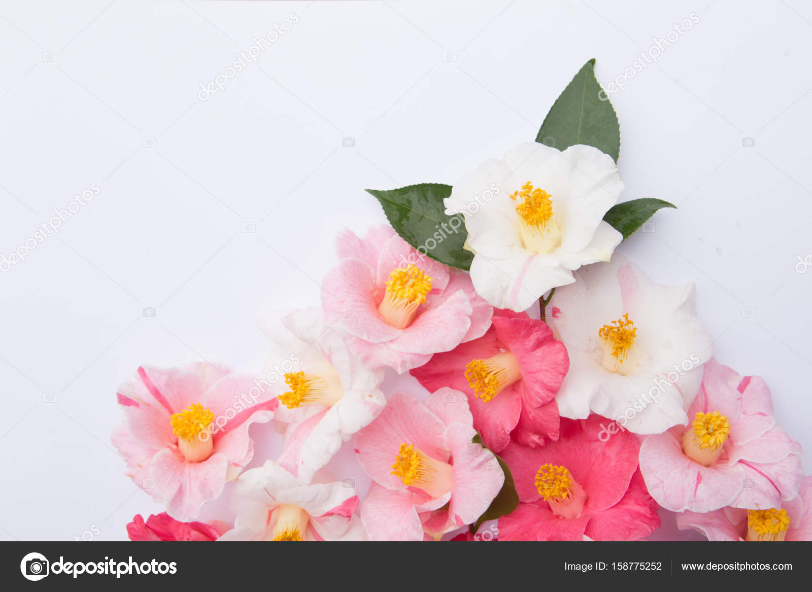 Pink and white camellia flowers on white background stock photo pink and white camellia flowers on white background stock photo mightylinksfo