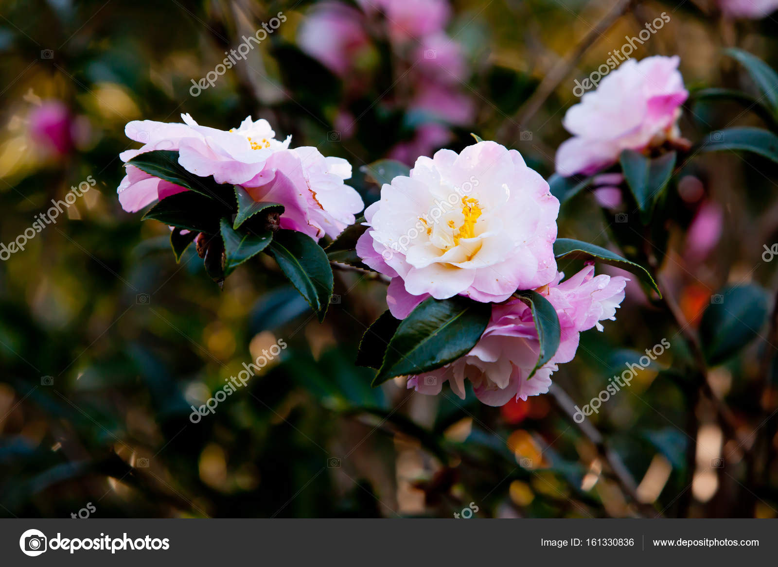 Beautiful Delicate Pink Flowers Of The Theaceae Camellia X Verna