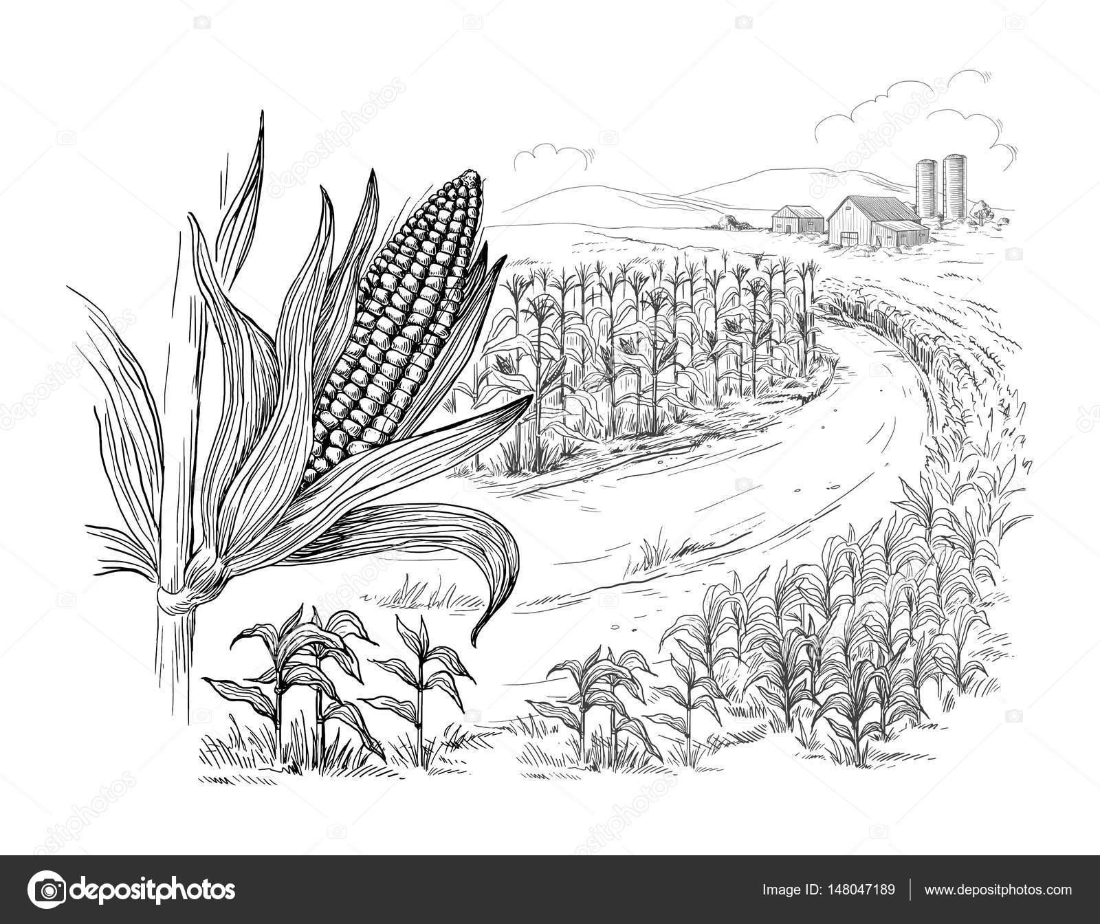 Ilustración de campo de maíz grano tallo sketch — Archivo Imágenes ...