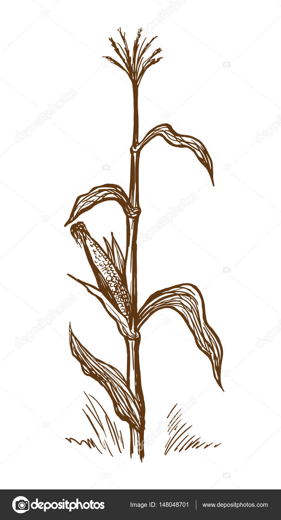 tallo del pie de maíz — Archivo Imágenes Vectoriales © vectorgoods ...