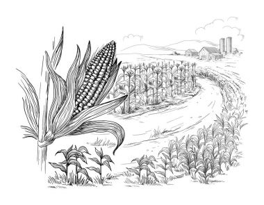 illustration of cornfield grain stalk sketch