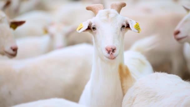 Hledáte bílé kozy