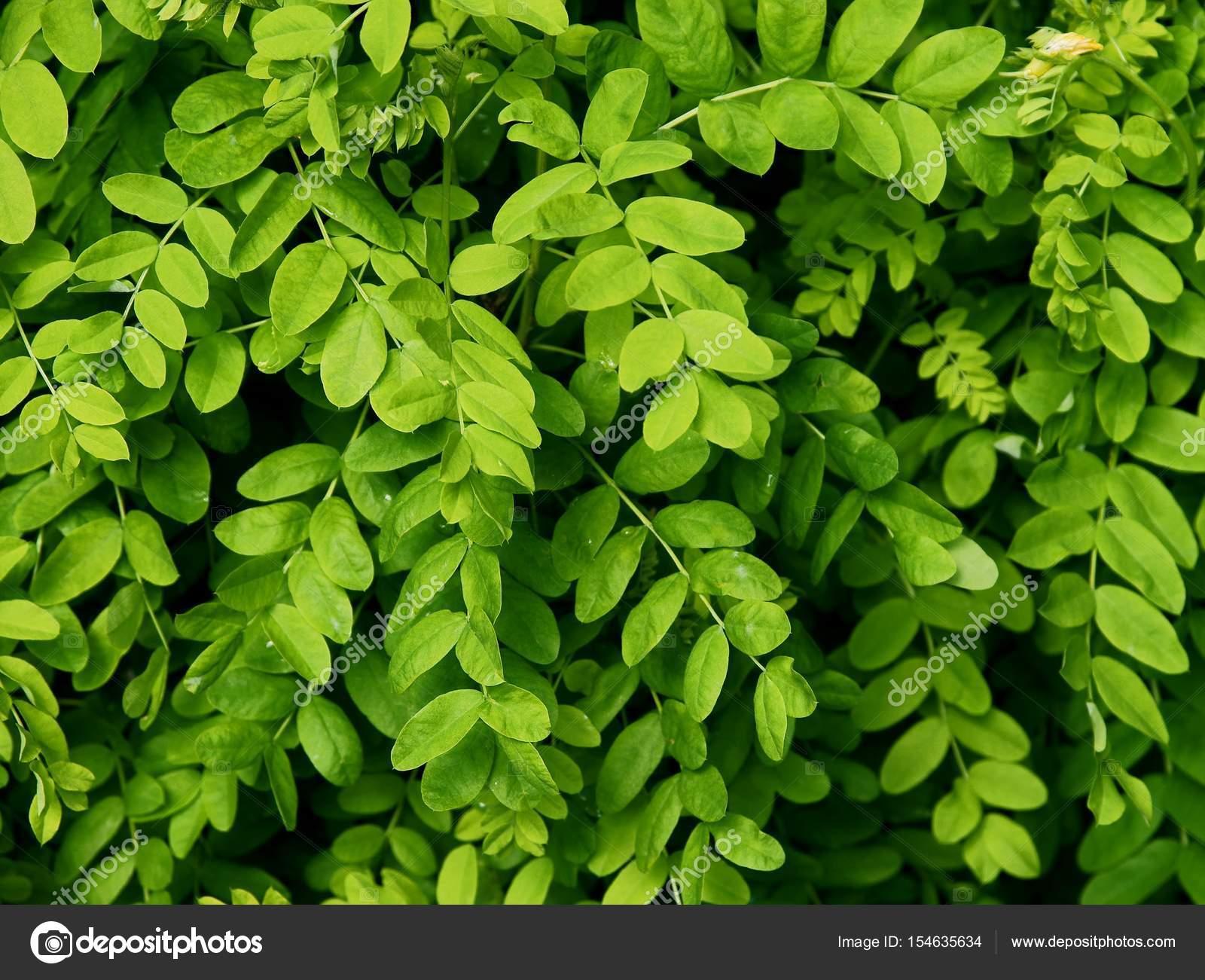 Green Leaves Of Acacia Tree Stock Photo Manka 154635634