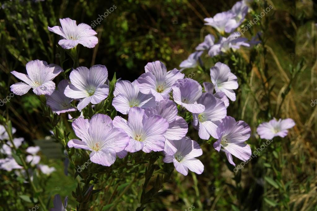 lila flowers of Linum hirsutum