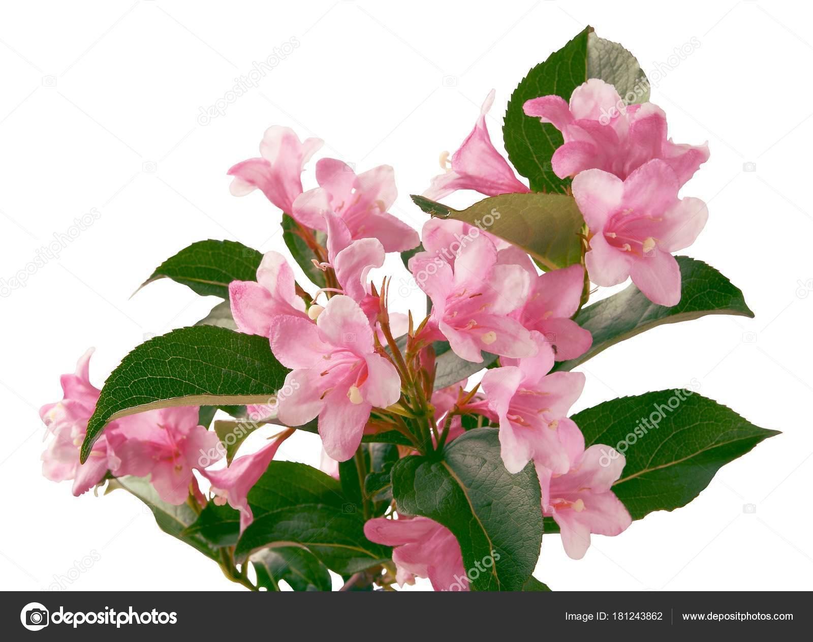 Pink flowers weigela ornamental bush stock photo manka 181243862 pink flowers weigela ornamental bush stock photo mightylinksfo