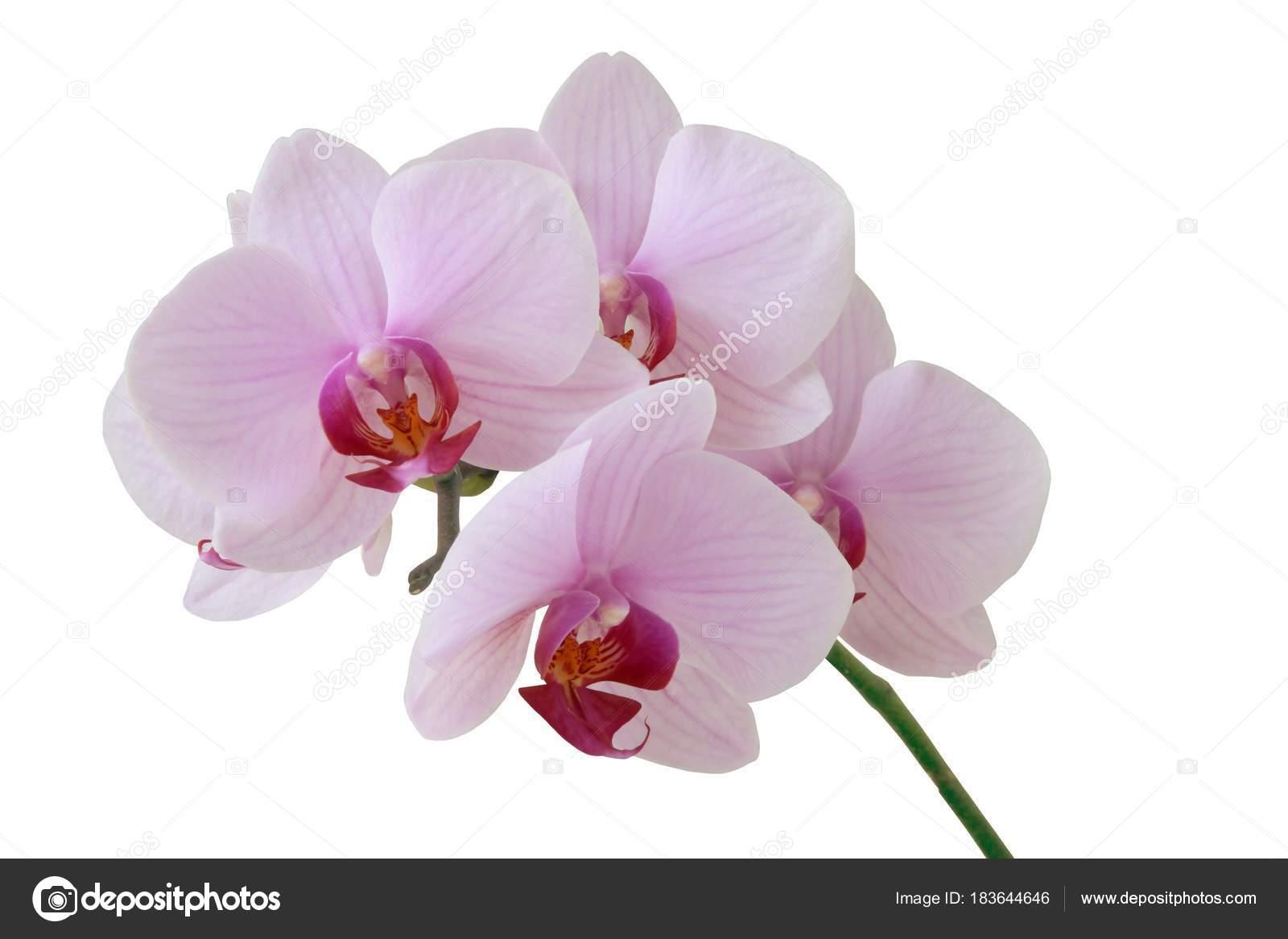 Pink Purple Flowers Orchid Stock Photo Manka 183644646