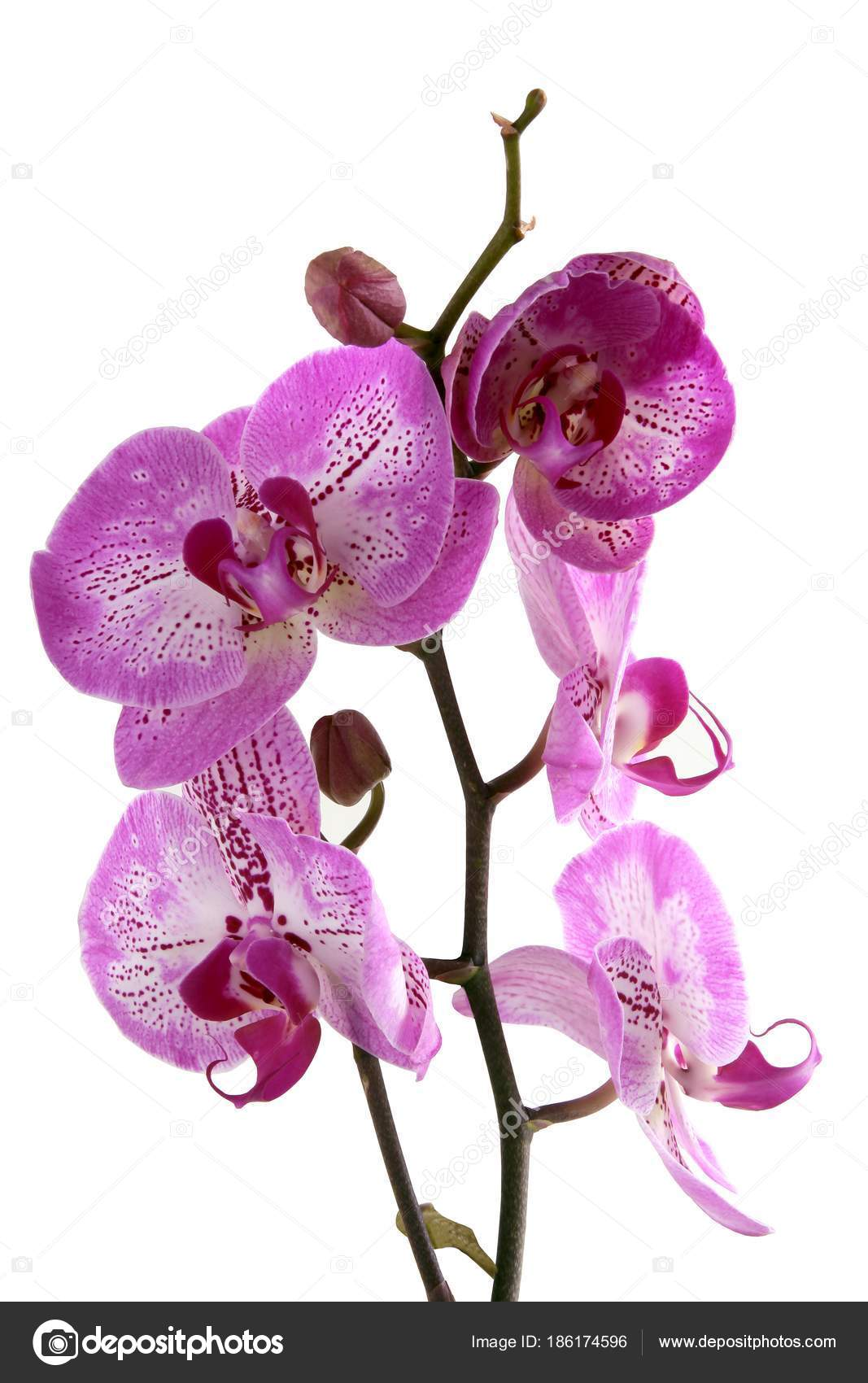 Pretty Flowers Orchid Phalaenopsis Stock Photo Manka 186174596