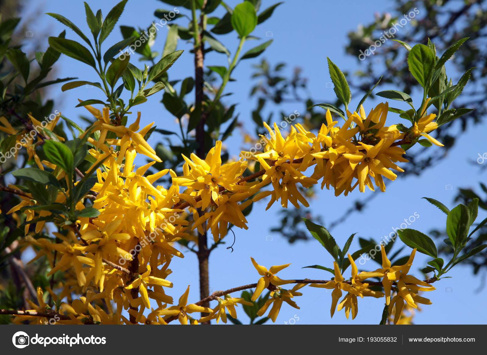 Yellow Flowers Forsithia Bush Stock Photo Manka 193055832