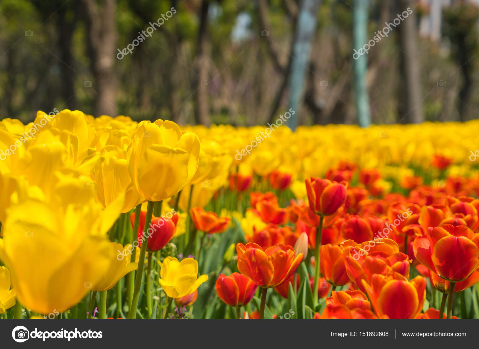 The High Contrast Of Yellow And Orange Tulips Garden Stock Photo