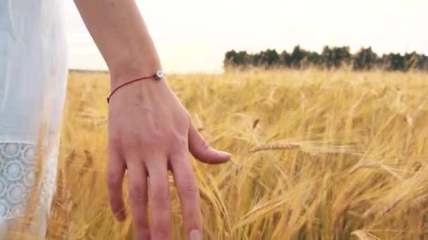 Womans kézzel fut keresztül Búzamező. Lányok keze megérintette a búza füle Vértes. Betakarítás koncepció. Betakarítás.