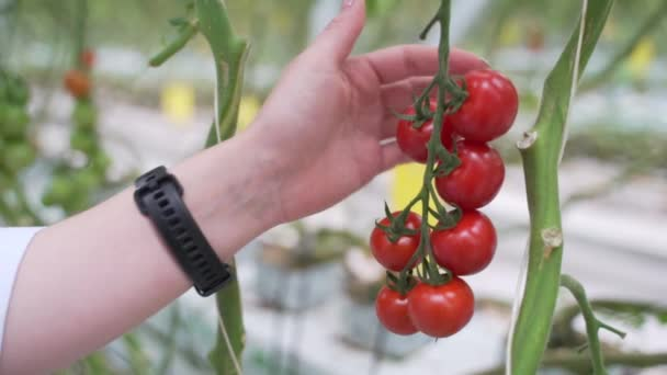 Hand picks a ripe red tomatoes from a bush. Cultivation of healthy vegetables at home.