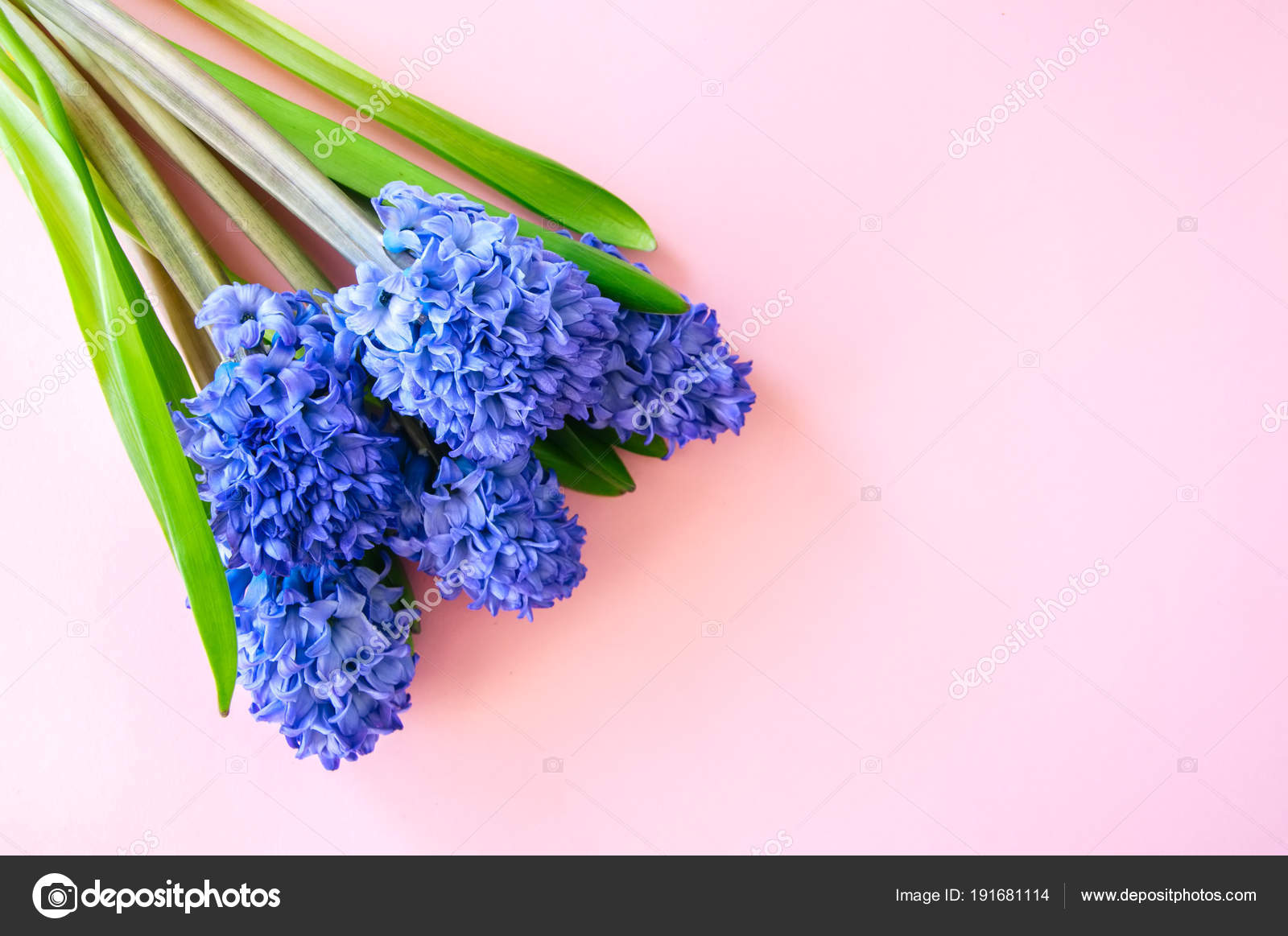 Beautiful violet hyacinth flowers bouquet on a pink background ...