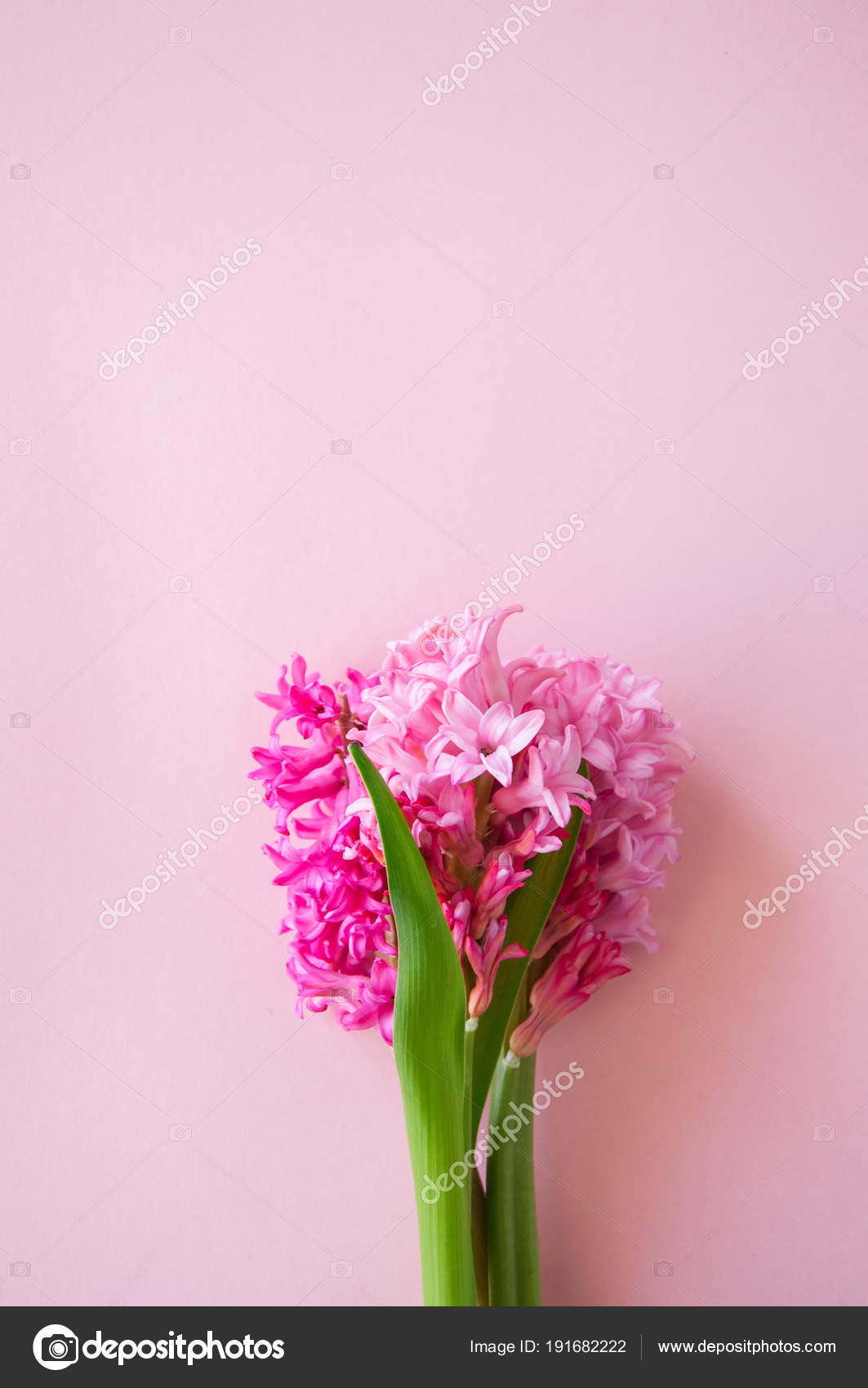 Beautiful pink hyacinth flowers bouquet on a pink background. Cl ...