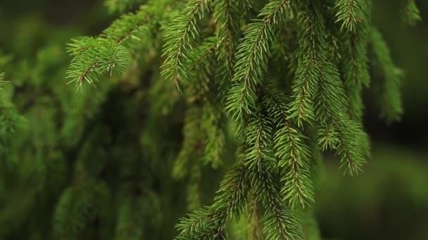 Közelről gyönyörű lucfenyő ág zöld színű. Zöld természet háttér. A bolygó természetének megmentése