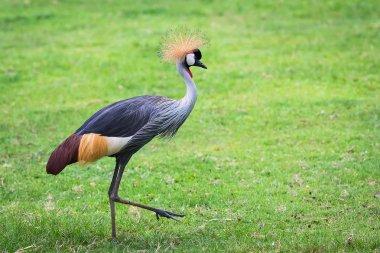 gray-crowned crane.