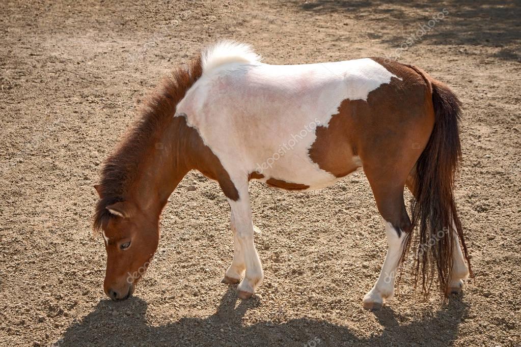 Close up dwarf horse